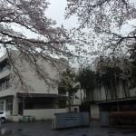桜舞う青梅第七中学校校門