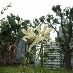 後の土手には百合が咲いていました